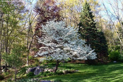 White Cherokee Princess Dogwood